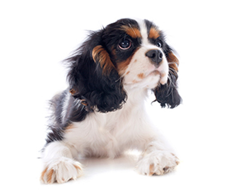 Conseils pour choisir la race de votre chien