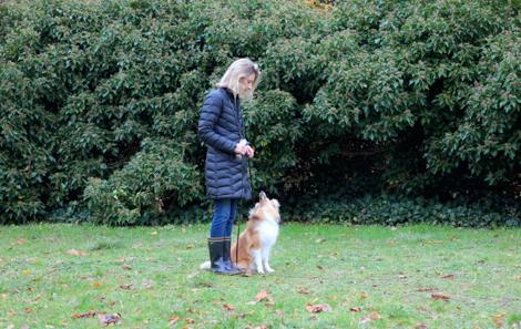 Exécution des ordres de base de l'éducation canine en méthode positive par un chiot de 8 mois